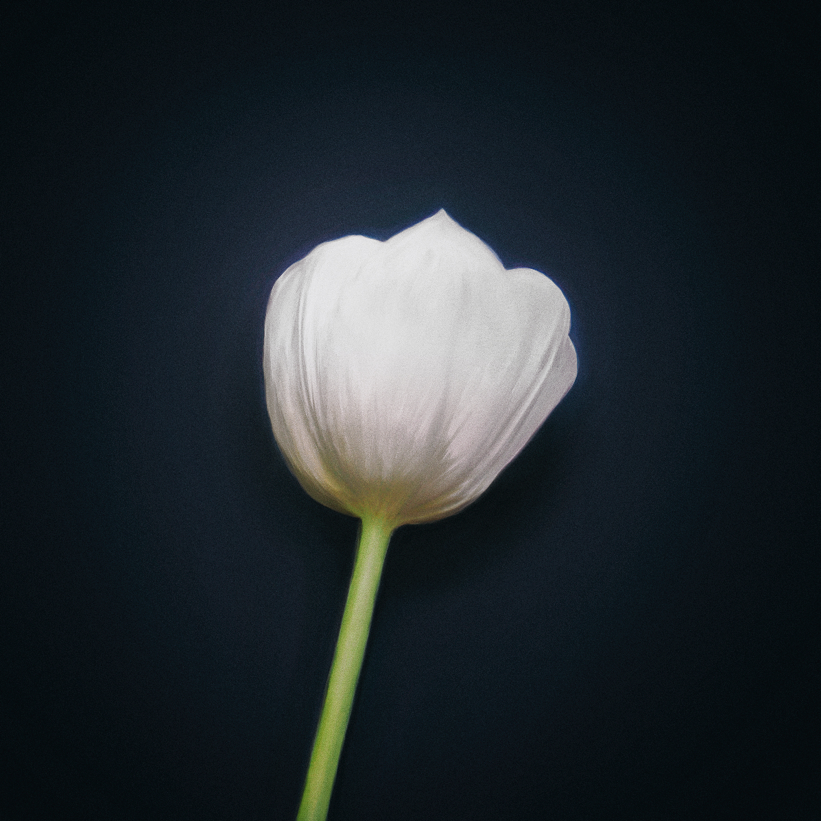 Tulip by Herm the Younger